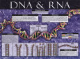 DNA & RNA Kunsttryk