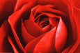 Rote Rose Poster