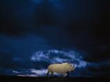 Endangered Northern White Rhinoceros, Ceratotherium Simum Cottoni