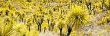!Viva Mexico! Panoramic Collection - Yellow Joshua Trees