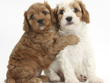 Cute Red And Red-And-White Cavapoo Puppies, 5 Weeks, Hugging, Against White Background