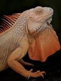 Common Iguana (Iguana Iguana) Albino, Captive, From Central And South America