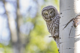 Wyoming, Grand Teton National Park, an Adult Great Gray Owl Stares from Behind an Aspen Tree