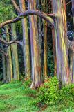 Hawaii, Maui, Rainbow Eucalyptus Trees