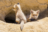 Wyoming, Lincoln County, Two Fox Kits Sit in Front of their Den