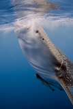 Indonesia, West Papua, Cenderawasih Bay. Whale Shark Surfacing