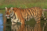Siberian Tiger Prowling in the Water. Montana, Usa
