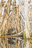 Wyoming, Sublette County, a Sora Is Reflected in a Calm Morning Pond after a Spring Snowstorm