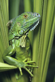 Green Iguana Blending into the Plants, Honduras