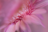 Maine, Harpswell. Pink Gerbera Daisy Abstract