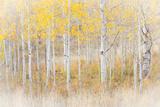 Utah, Manti-La Sal National Forest. Aspen Forest Scenic