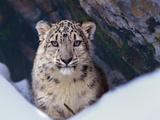 Snow Leopard, Montana, Usa