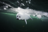 A Days Old Harp Seal Pup Learns to Swim in the Gulf of Saint Lawrence