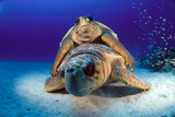 A Pair of Endangered Loggerhead Sea Turtles, Caretta Caretta, Mating