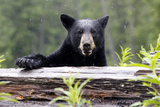 Portrait of a Black Bear, Ursus Americanus, in the Canadian Rockies