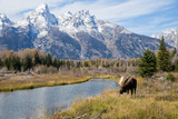 A Moose in Grand Teton National Park