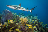 A Caribbean Reef Shark Patrols Gardens of the Queen National Marine Park in Cuba