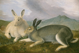 Arctic Hare, c.1841