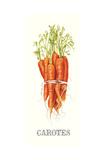 Carotes