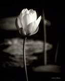 Lotus Flower VI
