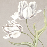 Soft Tulip II