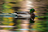 A Male Mallard Duck Swims in a Pond at Sunrise