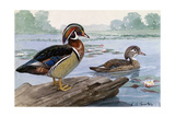 A Painting of a Male and Female Wood Duck