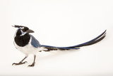 A Black Throated Magpie Jay, Calocitta Colliei, at the Houston Zoo