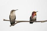 A Male and Female Cuban Bee Hummingbird, Mellisuga Helenae, Perch on a Tree Branch