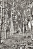 Birch Trees No.3