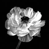 Ranunculus Floral - Noir