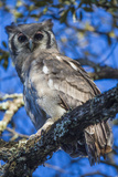 Africa. Tanzania. Verreaux's eagle-owl in Serengeti National Park.