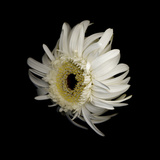Daisy 8: Floating White Gerbera Daisy