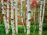 Birch trees in autumn, Acadia National Park, Maine, USA
