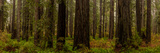 Giant Redwood trees in a forest, Humboldt Redwoods State Park, California, USA