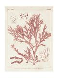 Antique Coral Seaweed I