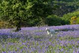 Lamb Running in Bluebells