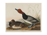 Red-Headed Duck, 1836