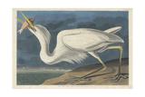 Great White Heron, 1835