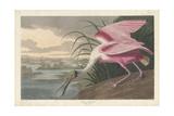 Roseate Spoonbill, 1836