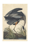 Great blue Heron, 1834