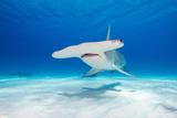 Great Hammerhead Shark Underwater View at Bimini in the Bahamas