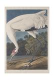 Hooping Crane, 1834