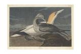 Gannet, 1836