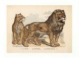 Animaux d'Afrique, Lion