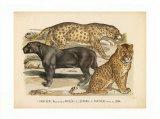 Animaux d'Afrique, Panthere