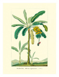 Banana Tree, Botanical Illustration, c.1855