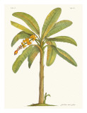 Banana Tree, 18th Century