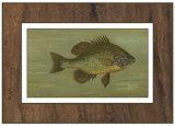 Common Sunfish