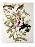 "Rose-Breasted Grosbeak from """"Birds of America"""""